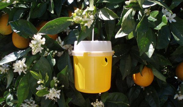 Campaña fitosanitaria para controlar la mosca de la fruta