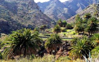 Las especies invasoras amenazan los palmerales de Anaga