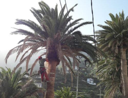 El Cabildo finaliza la poda de palmeras en Taganana para prevenir incendios