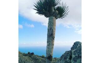 El Cabildo de Tenerife 'recupera' uno de los dragos de Tafada