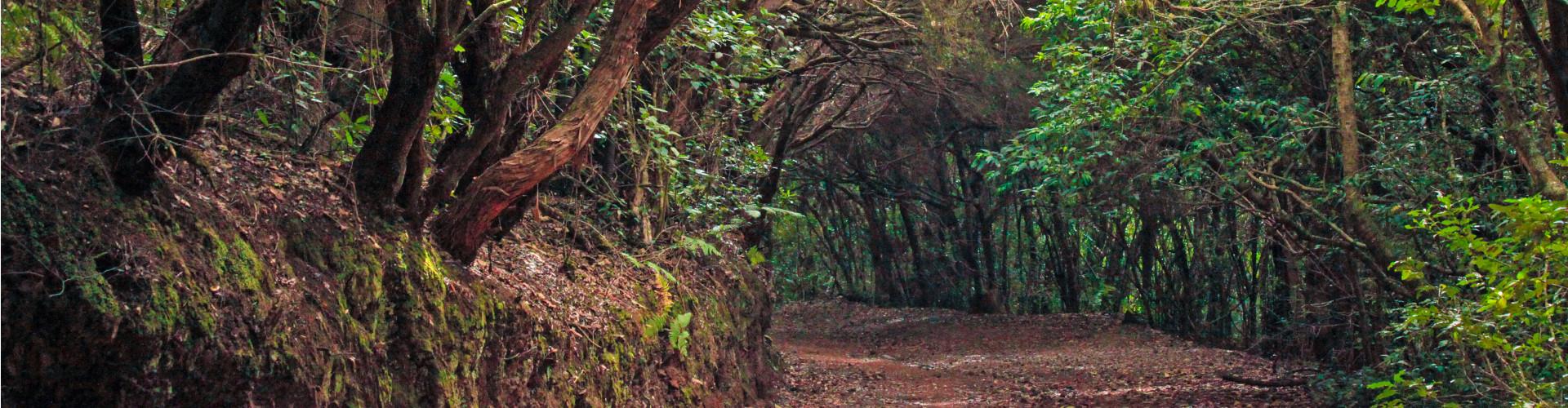 Monte verde de Anaga
