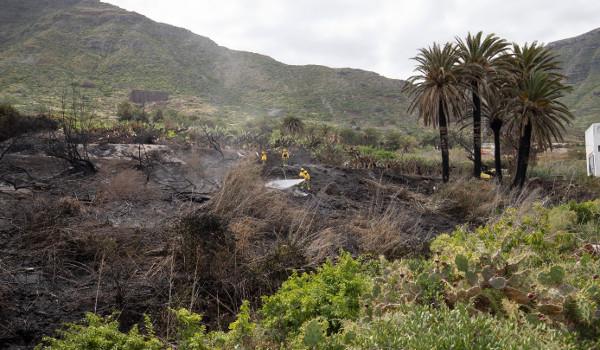 El incendio declarado el domingo en Bajamar afecta a 45 palmeras canarias