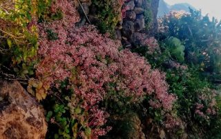 El Cabildo retira 157 toneladas de crásula y pinillo de los espacios naturales protegidos